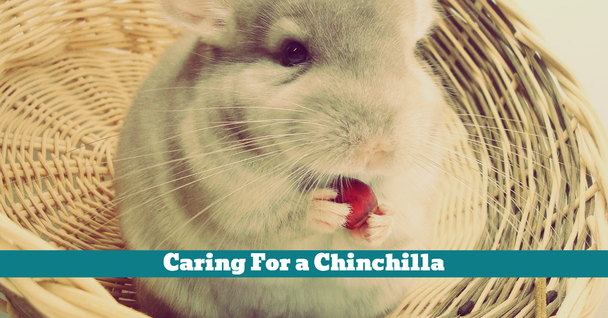 Pet_Chinchilla_Care_Diet_Nutrition