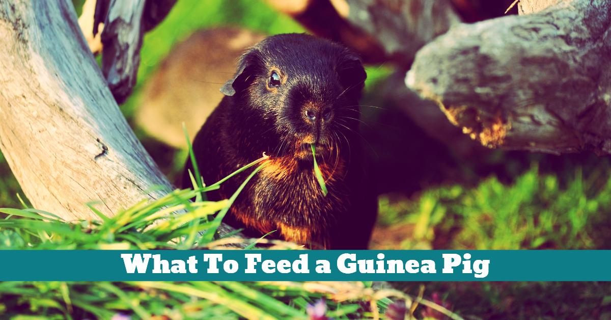 Pet_Guinea_Pig_Food_Diet_Nutrition