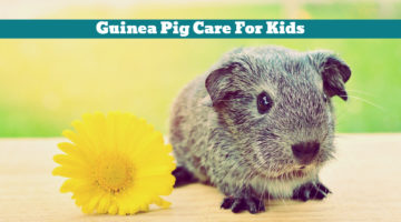 Guinea Pig Care For Kids