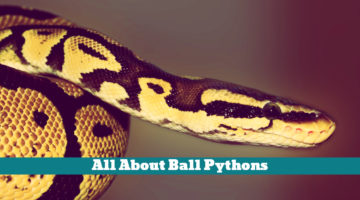 All About Ball Pythons