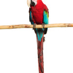5 Things to Consider Before Buying a Pet Parrot