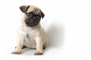 how to choose a healthy pug puppy