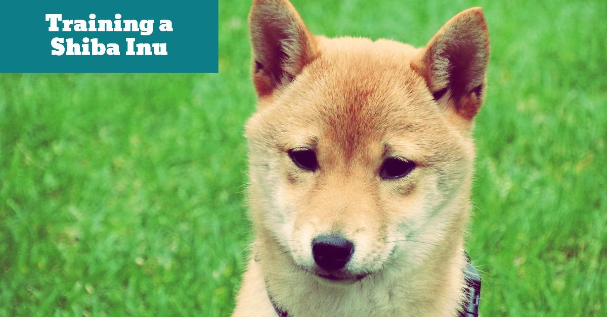 Dog_Training_Shiba_Inu_Japanese_Japan_Dominance_Authority
