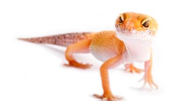 Feeding Geckos