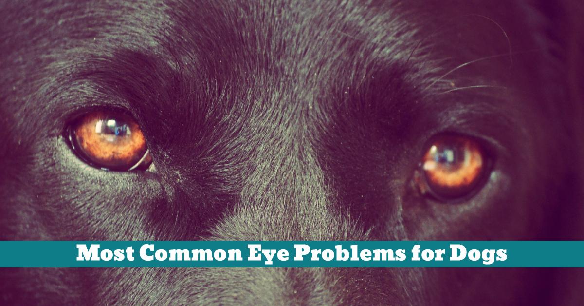 Dog_Eye_Cataracts_Inflammation_Irritation_Injury_Infection_Eyelids