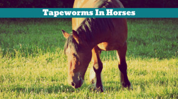 Tapeworms In Horses