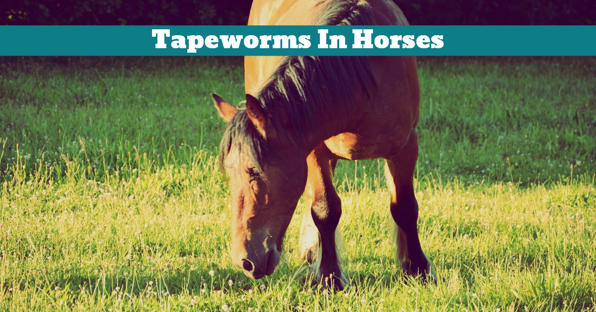 Horse_Tapeworm_Parasite_Parasitic_Colic_Gastrointestinal_Infection_Worming