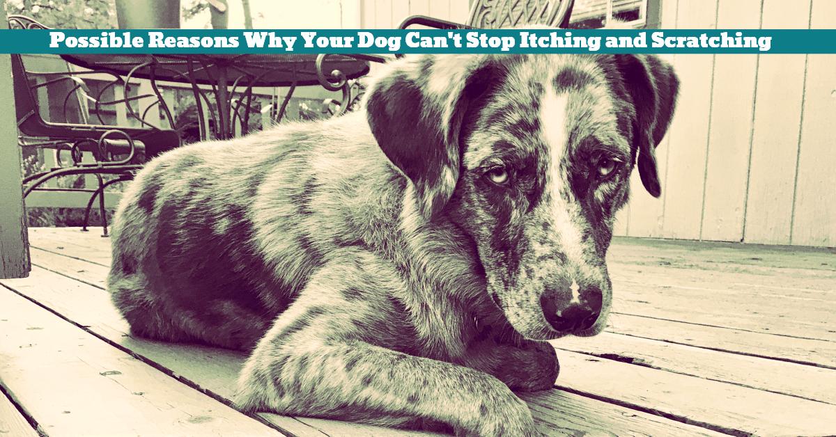 Dog_Itching_Scratching