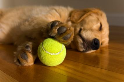 Golden_Retriever_Puppy_dreaming