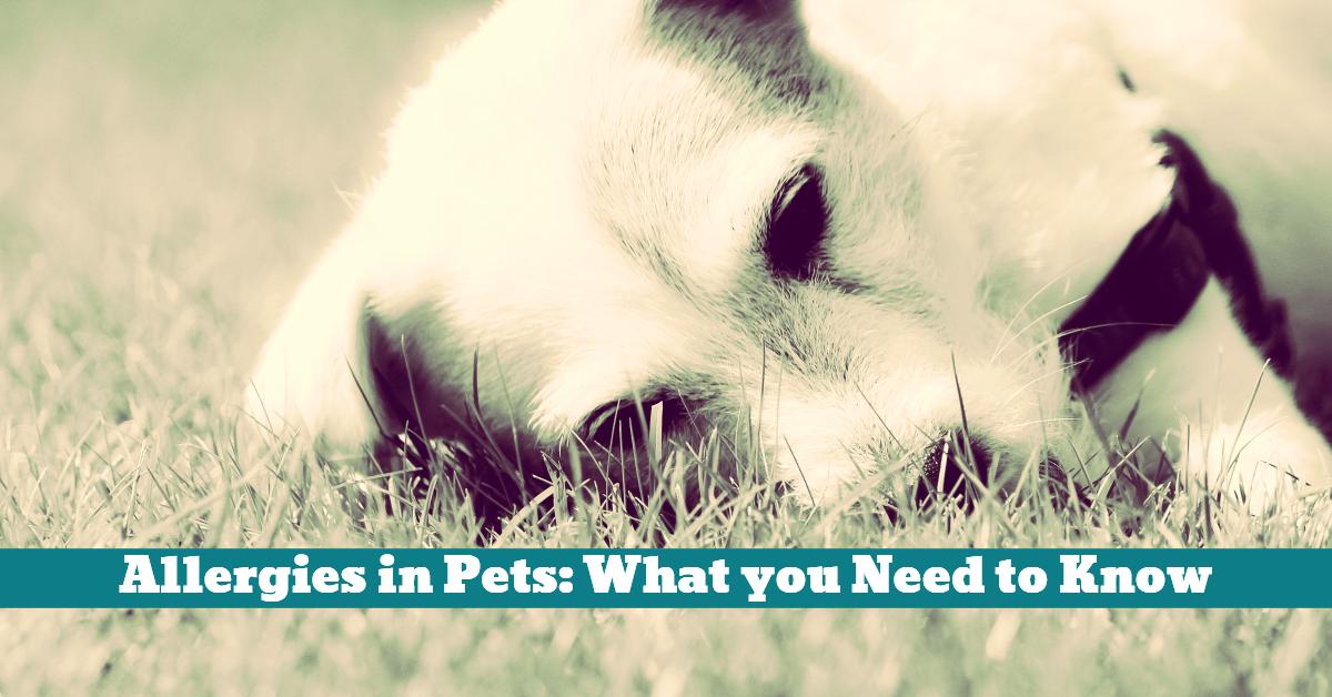 Pet_Allergy_Allergies_Treatment
