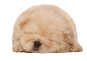 sleeping_chow-chow_puppy