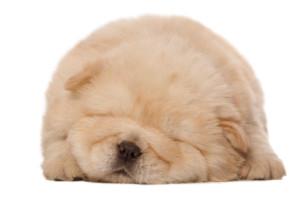 sleeping_chow-chow_puppy