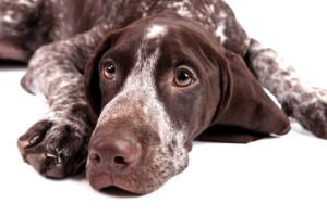 German short-haired pointer - sad hunter dog