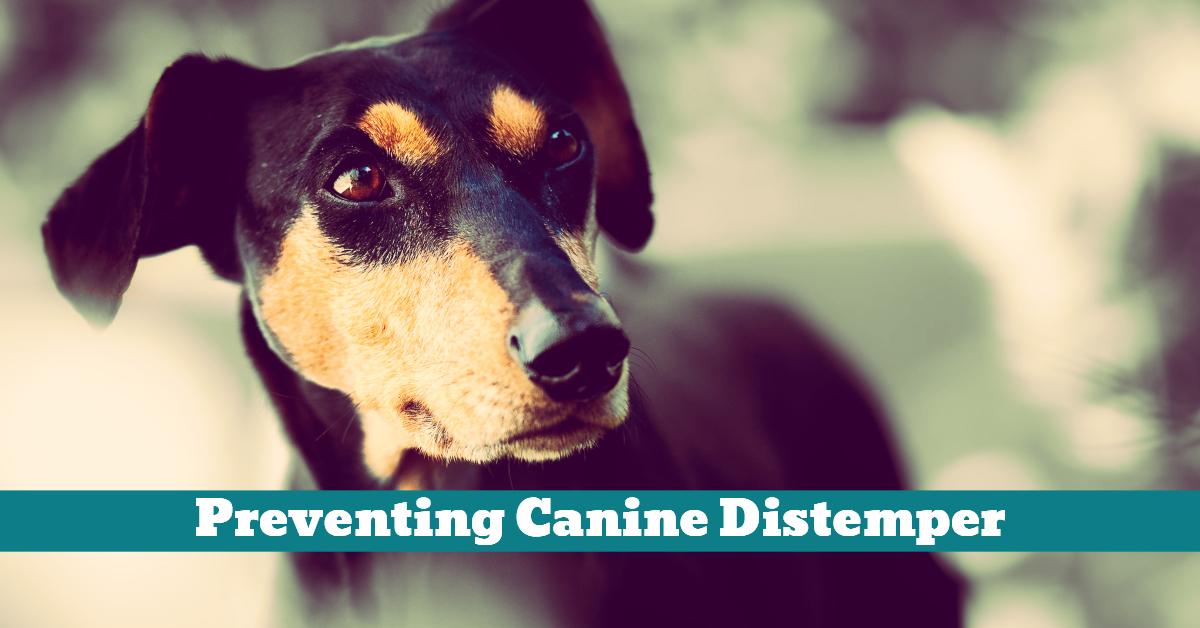 Dog_CDV_Canine_Distemper_Vaccination_Virus