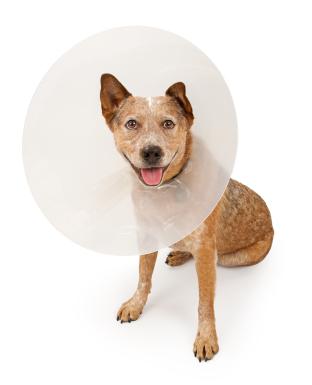 dog_wearing_cone