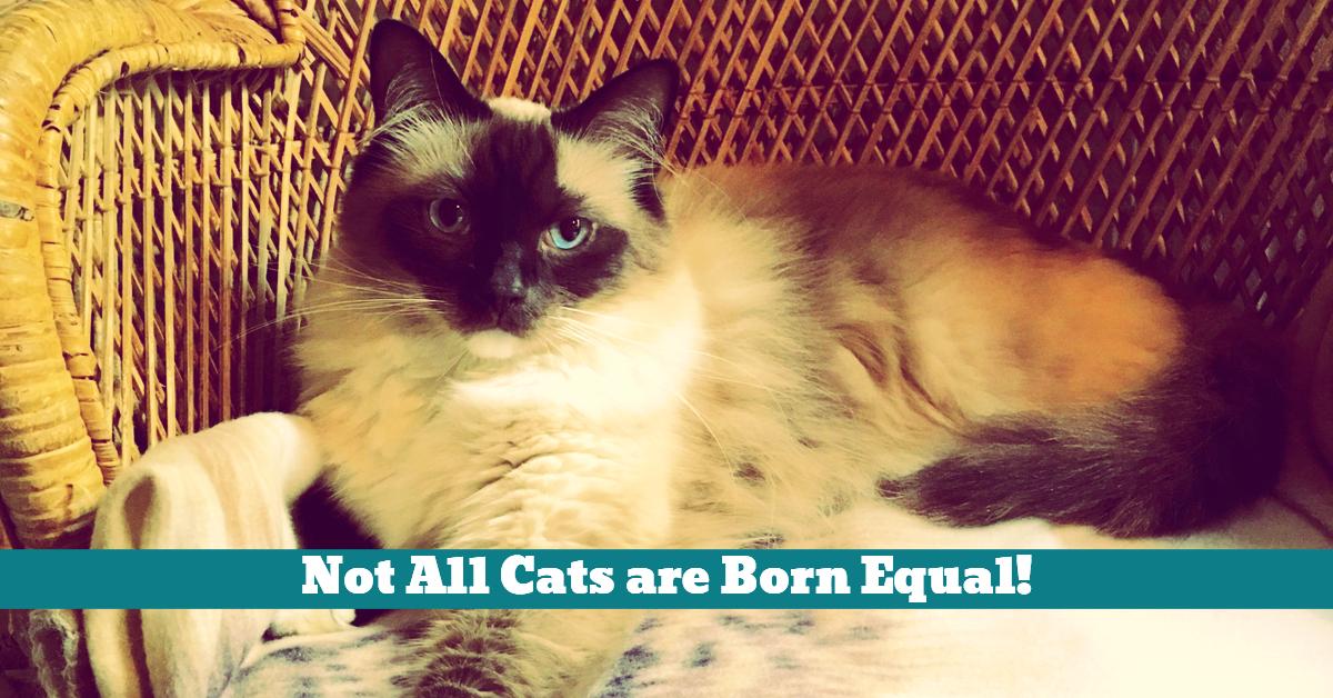 Cat_Himalayan_Yazmin