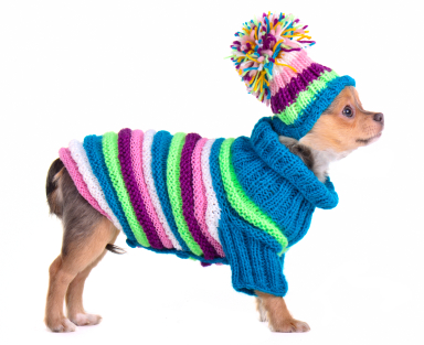 Chihuahua_in_knitted_jumper