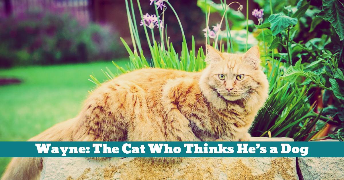 Cat_Maine_Coon_Wayne_Dog_Behavior