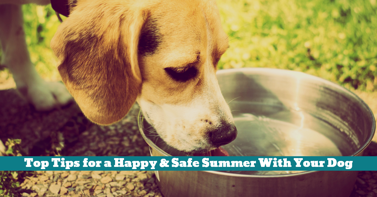 Dog_Summer_Water_Thirst_Health_Safety