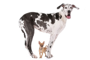 Great Dane_and_chihuahua