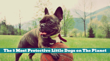 The 5 Most Protective Little Dogs on The Planet