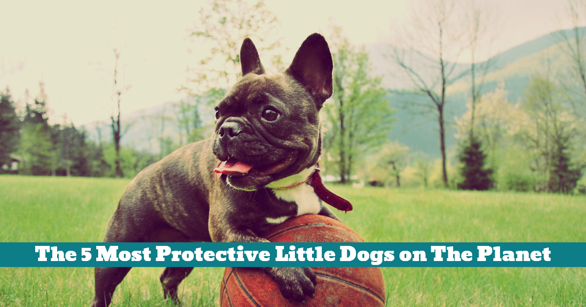 Dog_French_Bulldog_Protective_Small_Little