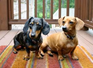 Protective Dog Breeds Animal Planet