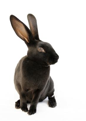 rex_rabbit