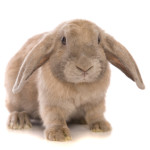 Breeds Of Bunny: A World of Choice