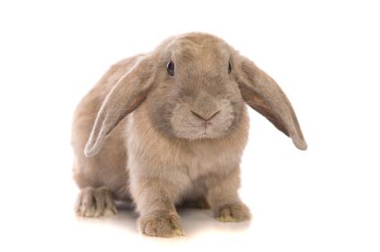 lop_bunny