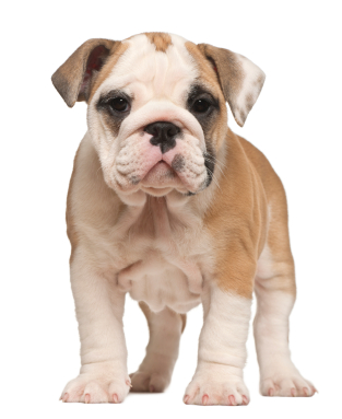 bulldog_puppy