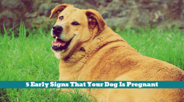 5 Early Signs That Your Dog Is Pregnant
