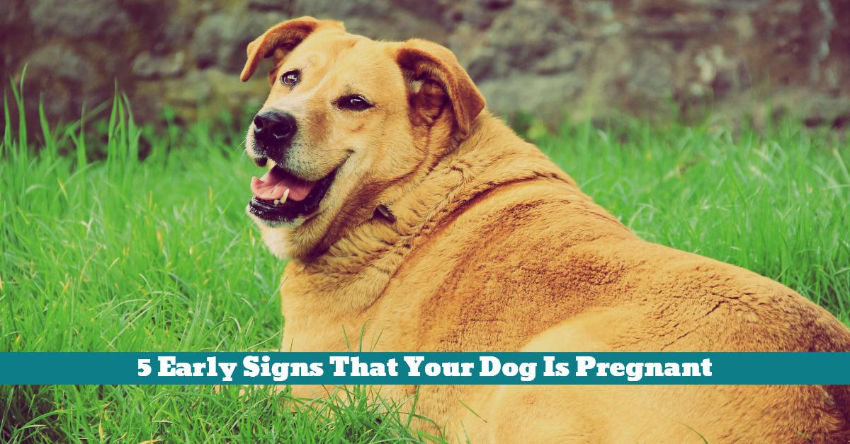 Dog_Pregnant_Fat_Slow_Appetite_Behavior