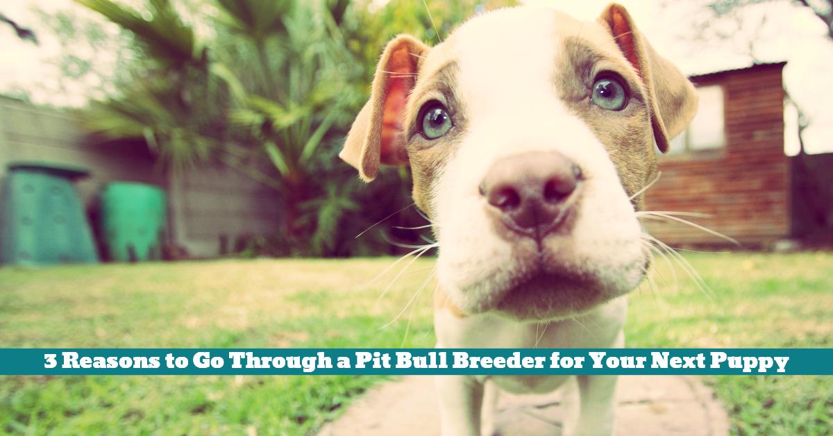 Pit_Bull_Puppy_Breeder_Association_Relationship