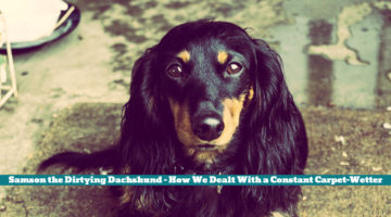 Samson the Dirtying Dachshund – How We Dealt With a Constant Carpet-Wetter