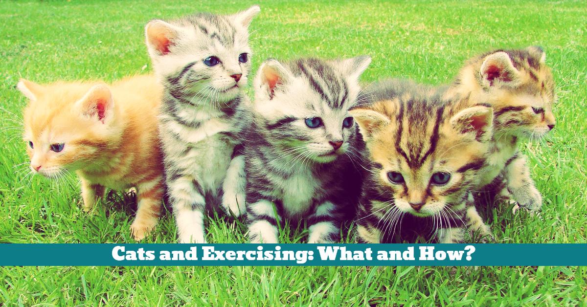 Cat_Kitten_Play_Exercise_Indoor_Play