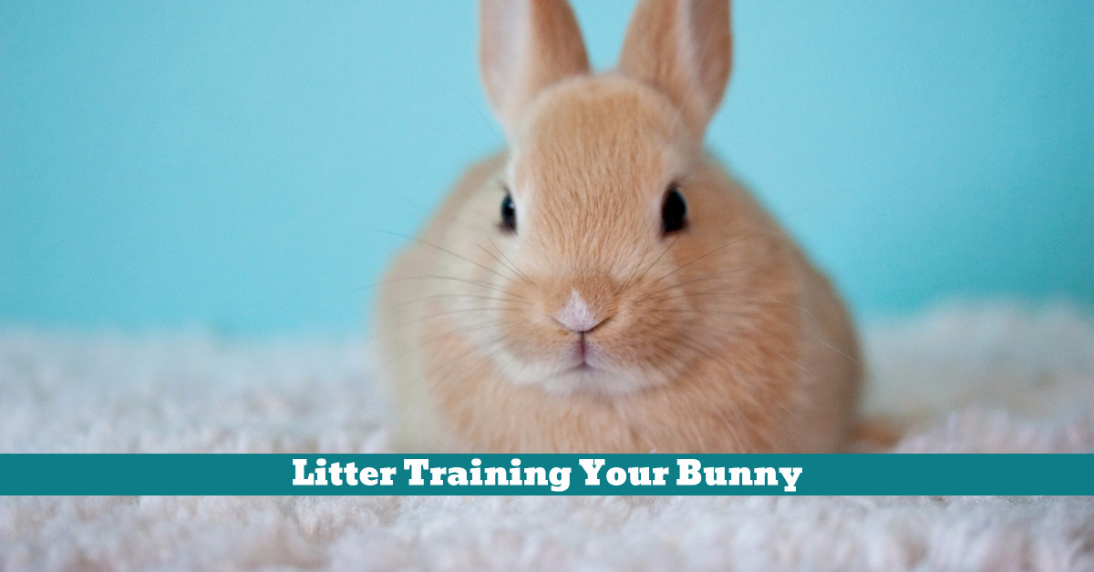 Rabbit_Litter_Training_Health