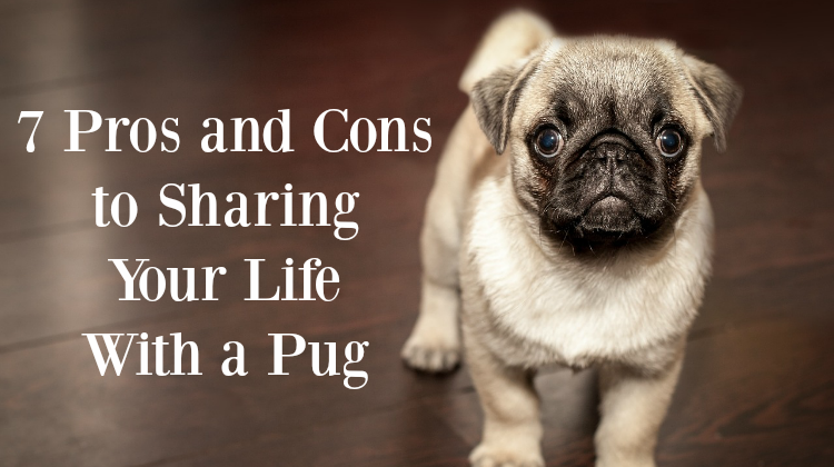 7 Pros and Cons to Sharing Your Life With a Pug