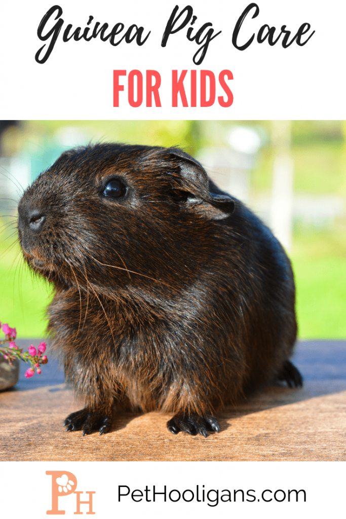 guinea_pig_care_for_kids