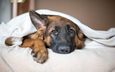 Do German Shepherds Make Good Pets?