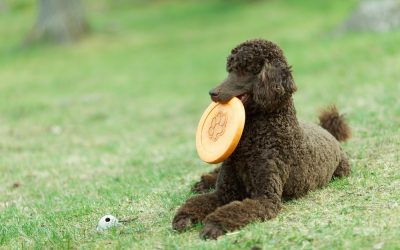 The Standard Poodle Temperament