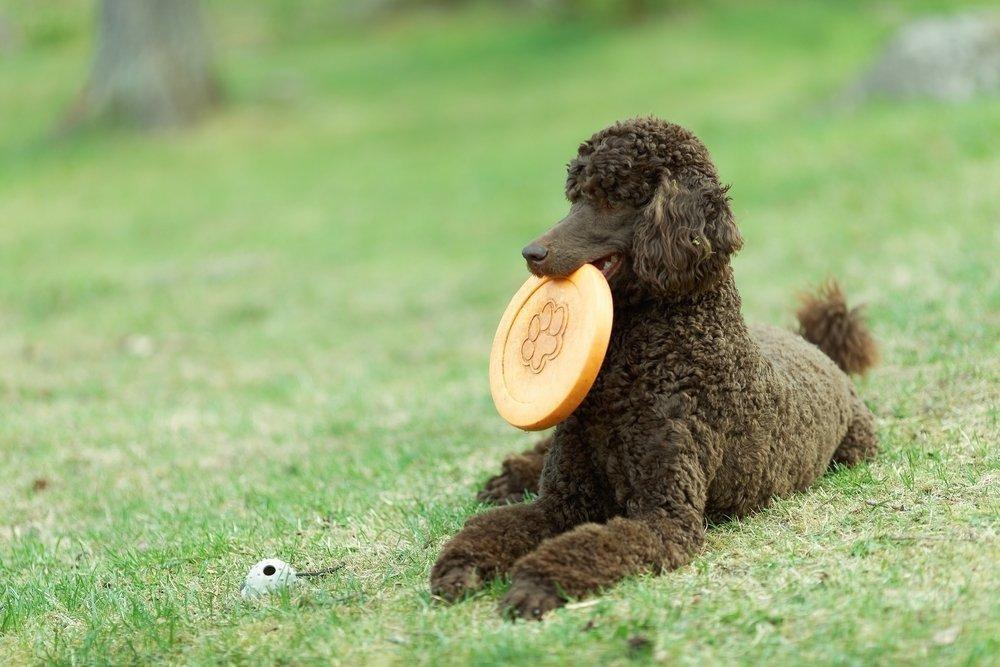 standard poodle temperament